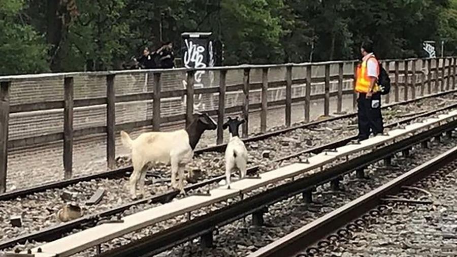 Geiten op het spoor